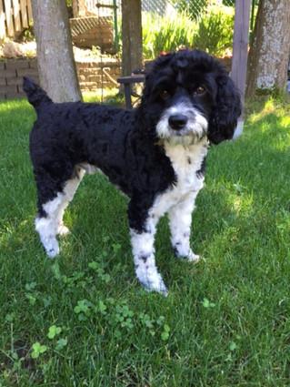 Stringent by-law enforcement demanded after dog killed in Ste. Anne's