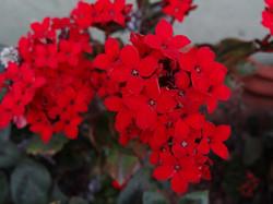 Flores da Pousada das Hortênsias