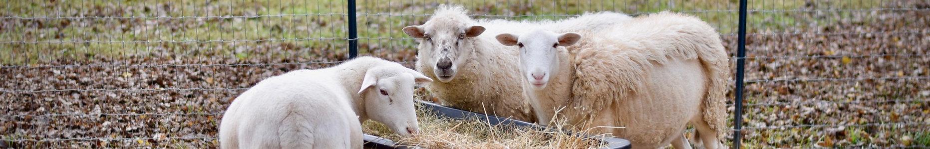 Foreverland Farm sheep