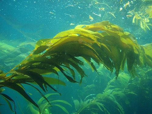 Kelp Saltbar