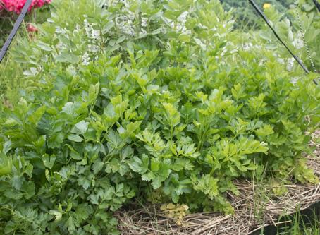 Using shade for better vegetables
