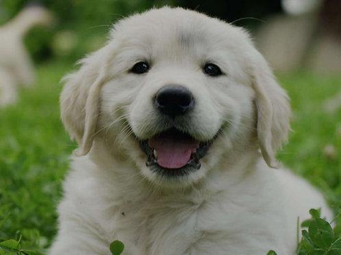 Самые дружелюбные породы собак Породы собак которые не опасны для человека