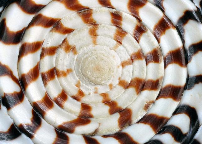abstrct seashell fractal.jpg
