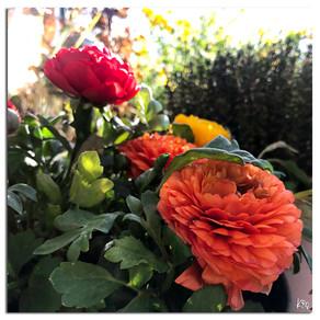 Renoncules & tulipes