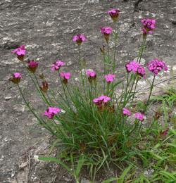 Dianthus-carthusianorum