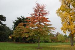 quercus-palustris.jpeg