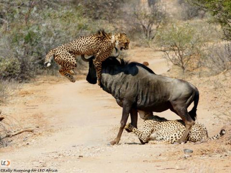 Incredible battle for survival – Cheetahs VS Wildebeest