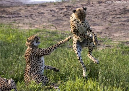 Dangerous Cheetah Encounter! The males meet the female for the first time!