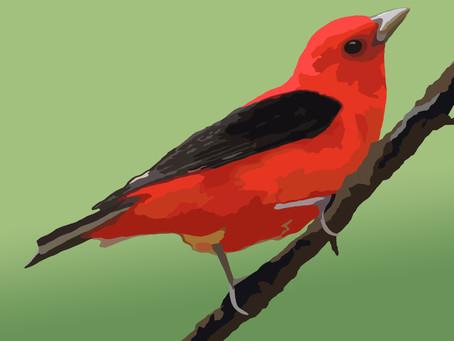 New Artwork - Scarlet Tanager