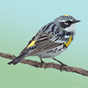 New Artwork - Yellow-rumped Warbler