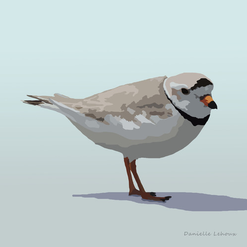 Piping Plover Bird Art Graphic