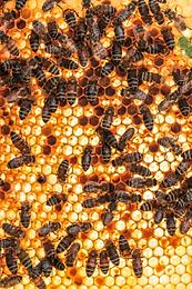 Bee hive honeycomb