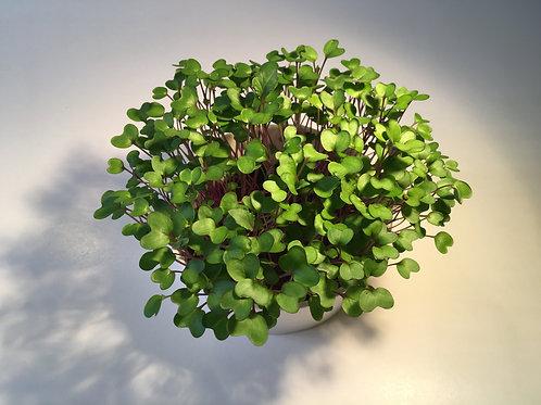 Micro Kohlrabi 苤藍苗