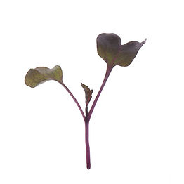 Radish, Purple