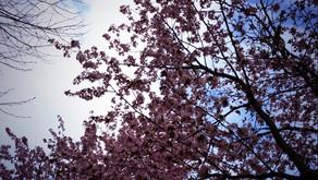 春ですねーーーー!