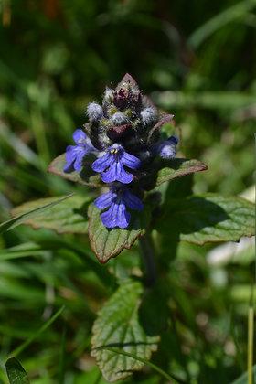 Élixir floral ajuga COMMUNICATION elixir