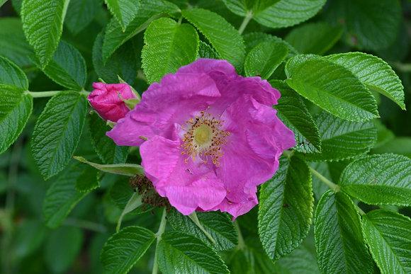 Elixir Rose sauvage ÉQUILIBRE elixir