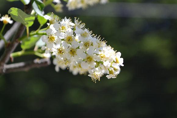 Elixir Cerisier tardif INSPIRATION elixir