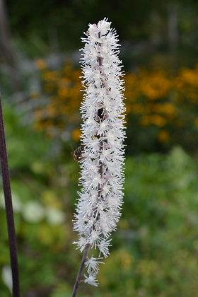 Élixir floral Actée noire GUÉRISON elixir