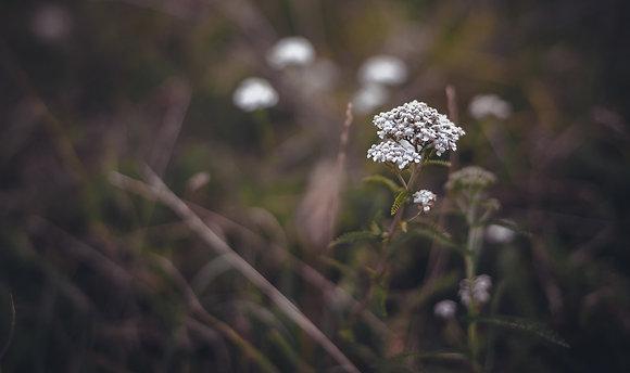 Sommités fleurie Achillée Mille-feuille 40 gr