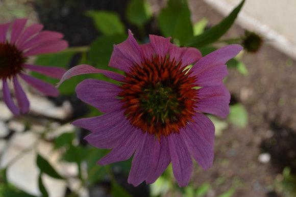 Teinture d'échinacéa - Echinacea tincture 30 ml