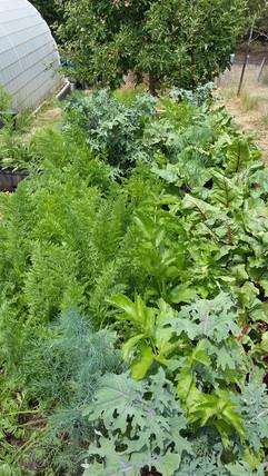 Organic garden greens.jpg