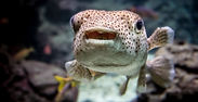 Canva - puffer fish.jpg