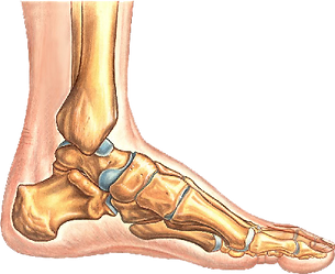 foot bones and joints