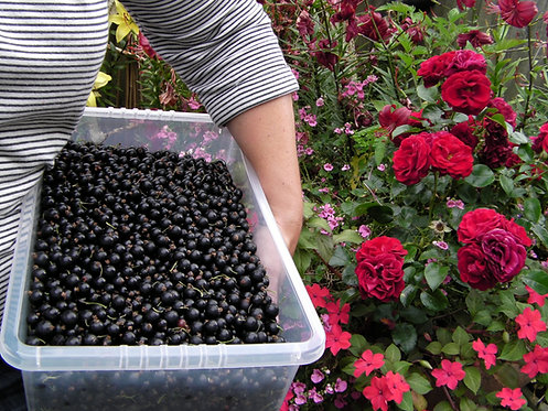 fresh picked blackcurrants for our Blackcurrant & British CASSIS Jam