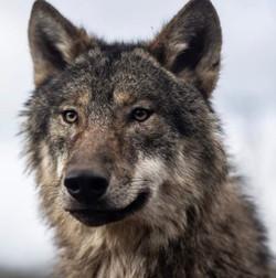 Star - Male European Wolf