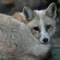 Pablo - Male Red Fox
