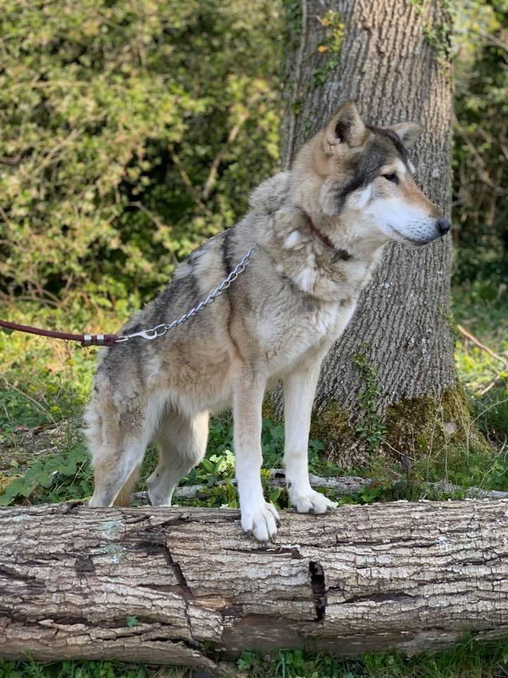 Wolf Hybrid Experience - Wolf Walk