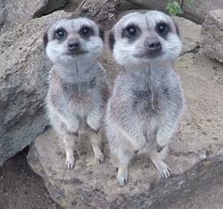 Meerkats - Olaf & Elsa