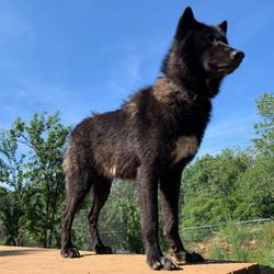 Tarik - Male Wolf Hybrid
