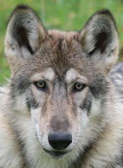 Kody - Female Wolf Hybrid