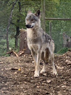 Ragnar - Male European Wolf