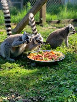 Ring Tail Lemurs - Homer, Marg & Lisa Simpson