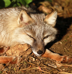 Khan - Male Corsac Fox