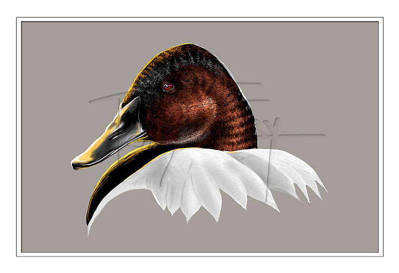 Portrait of a Canvasback
