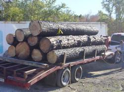 Loblolly+pine+from+Bastrop+fire1.JPG