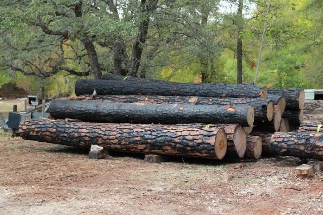 loblolly+pine+from+bastrop+fire+6.jpg