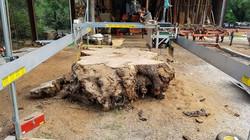 Live Oak root ball 80 inch dia