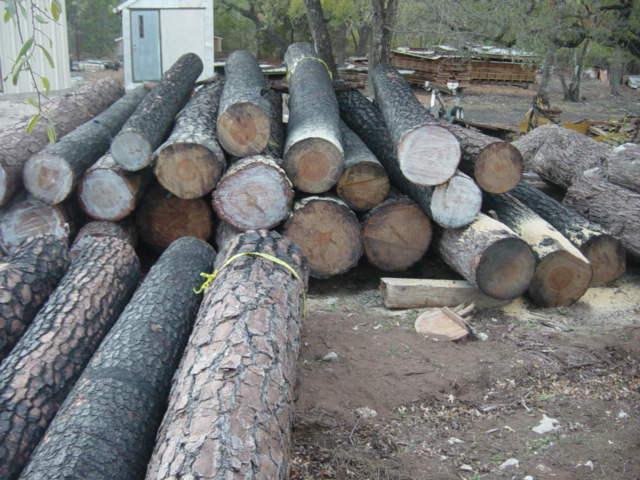 Loblolly+pine+from+Bastrop+fire4.JPG