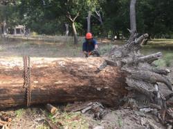 Bur oak log 50 inch 2886