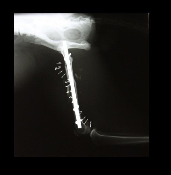 SOLVET fractura femur