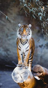 Serene Tiger