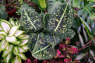 Dieffenbachia cultivars
