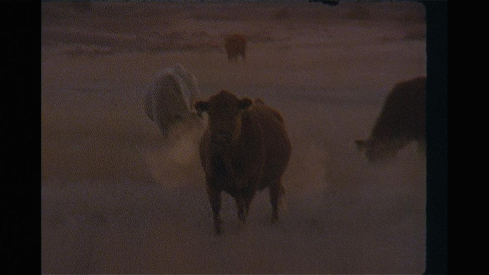 Cow looking ferocious.jpg