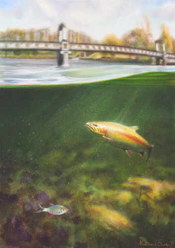 Trout in the Trent