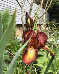 Iris 'Kent Pride' amongst a planting sch